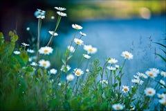 White daisies on blue background Stock Image