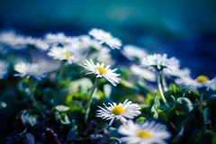 White daisies on blue background. Wonderful freash daisis in a blurry background Stock Image
