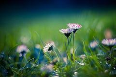 White daisies on blue background Royalty Free Stock Photo