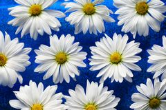 White daisies on blue glass Royalty Free Stock Image