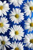 White daisies on blue glass Royalty Free Stock Photography