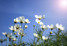 White daisies on blue sky Royalty Free Stock Image