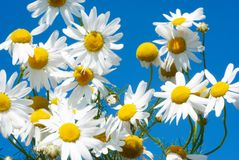 White daisies on blue sky background Stock Photography