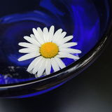 White daisies in a blue vase of glass on a black background Royalty Free Stock Photo