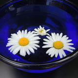 White daisies in a blue vase of glass on a black background Royalty Free Stock Photography