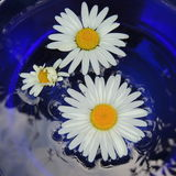 White daisies in a blue vase of glass on a black background Royalty Free Stock Images