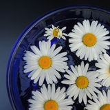White daisies in a blue vase of glass on a black background Stock Photos