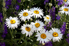 White daisies in a bunch with purple spike flowers. White daisy type composite flowers with purple spike flowers in the background and a pollinator Stock Images
