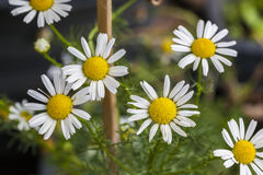 White daisies. Royalty Free Stock Photography