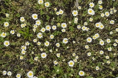White daisies (chamomiles) field. Background Royalty Free Stock Images