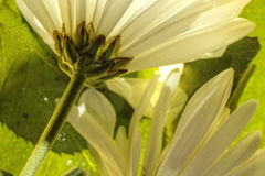 White daisies close up a amongst the leaves Royalty Free Stock Photos