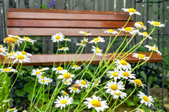 White daisies close-up on a background of the bench Stock Photo