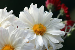 White Daisies. Close up image of white daisy flowers royalty free stock photos