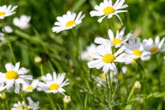 White daisies closeup on a green meadow Stock Images