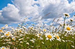 White daisies on cloudy blue sky. Field of daisies in the breeze on a perfect cloudy blue sky Royalty Free Stock Image