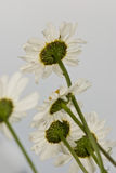 White Daisies Composition Royalty Free Stock Photography