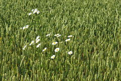 White daisies in cornfield, Netherlands Stock Photo