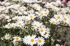 White daisies on a field Royalty Free Stock Image