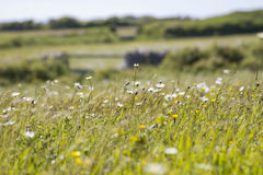 White daisies in field of flowers Stock Image