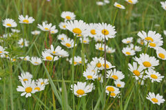 White daisies on the field Stock Photography