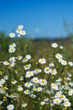 White daisies in a field on a sunny day. A lot of white with yellow daisies in field in sunny day on background of blue sky Royalty Free Stock Photography
