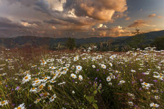 White daisies field on sunset sky background Royalty Free Stock Photos