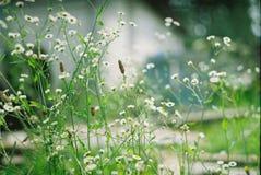 White daisies filmed in daylight stock image