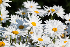 White daisies flower field. Background Stock Images