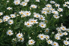 White daisies, flower Royalty Free Stock Image