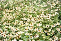 White daisies Royalty Free Stock Image