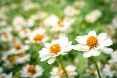 White daisies Stock Photography