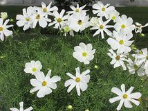 Daisies in the garden Stock Photography