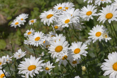 White daisies flowerbed. Garden flowers Stock Image