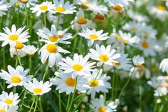 White daisies flowers in the garden. Beautiful white daisies flowers in the garden Stock Photography