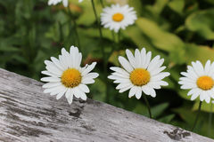 White daisies. In full bloom against wood fencing Royalty Free Stock Photos