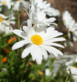 White daisies in garden. 2 Stock Photography