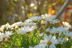 White daisies in garden. Into green garden Royalty Free Stock Photos