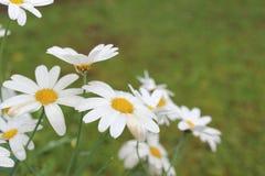 White Daisies in a garden Stock Photography