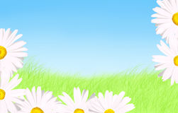 White daisies grass and sky background. Spring or Mother day background: Beautiful daisies as border to green grass and blue sky with copy space Stock Image
