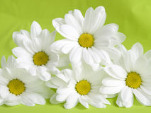 White daisies Royalty Free Stock Images