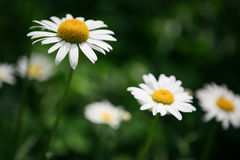 White daisies on a green background Royalty Free Stock Photos