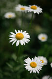 White daisies on a green background Royalty Free Stock Photo