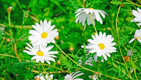 White daisies Royalty Free Stock Photography