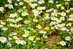 White daisies in a green field. Close up of white daisies in a green field Stock Image