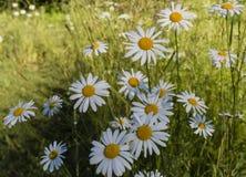 White daisies on green grass background Stock Photo