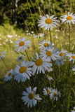 White daisies on green grass background Stock Photography
