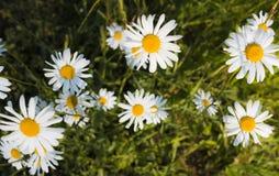 White daisies on green grass background Royalty Free Stock Photo