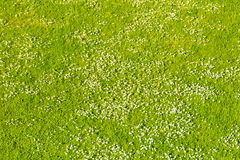 White daisies on a green lawn in spring Stock Photography