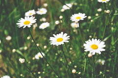 White daisies on green meadow. Filtered Royalty Free Stock Images