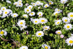 White  daisies in a green meadow Stock Photos